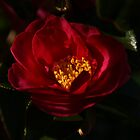 Camelia in the shadows by Steven Guy