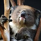 Koala 1 by photonista