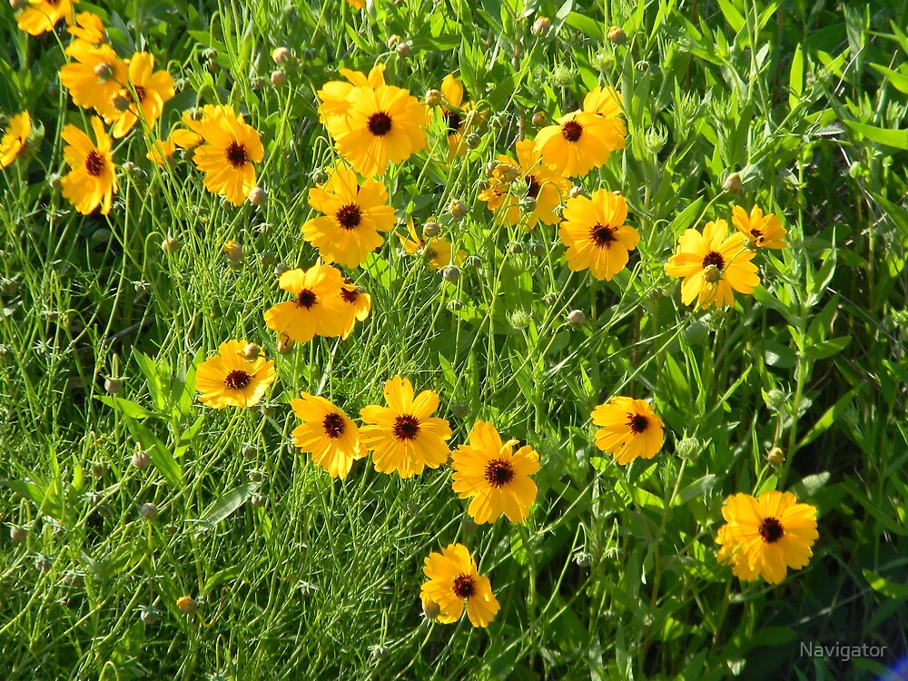 Sunny Coreopsis by Navigator