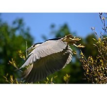 Heron Takeoff Photographic Print