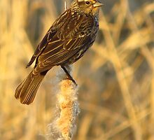 Mrs. Red-Winged Blackbird by lorilee