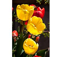 Yellow Tulips: Shining from The Shadows Photographic Print