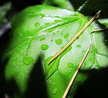 Raindrops and Pine Needles by Chris Gudger