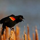 Red-winged Blackbird #4 by Kane Slater