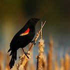 Red-winged Blackbird #1 by Kane Slater