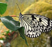 Paper Kite butterfly by ienemien