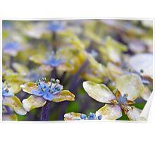 Autumn Hydrangea Poster