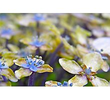 Autumn Hydrangea Photographic Print