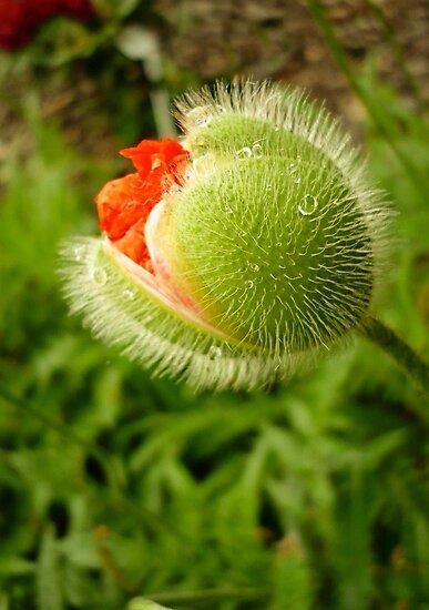 Poppy by EvaMarIza