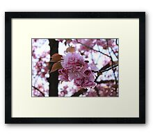 Japanese Flowering Cherry Framed Print
