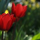 Beautiful Tulip by RaymondJames