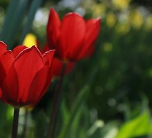 Beautiful Tulip by RaymondJames