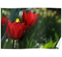 Beautiful Tulip Poster