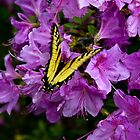 Swallowtail on bush by Kyle Wilson