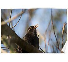 Singing Blackbird Poster