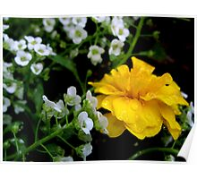 Yellow Dew Dropped Petals Poster