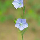 Wild Flax by Tracy Faught