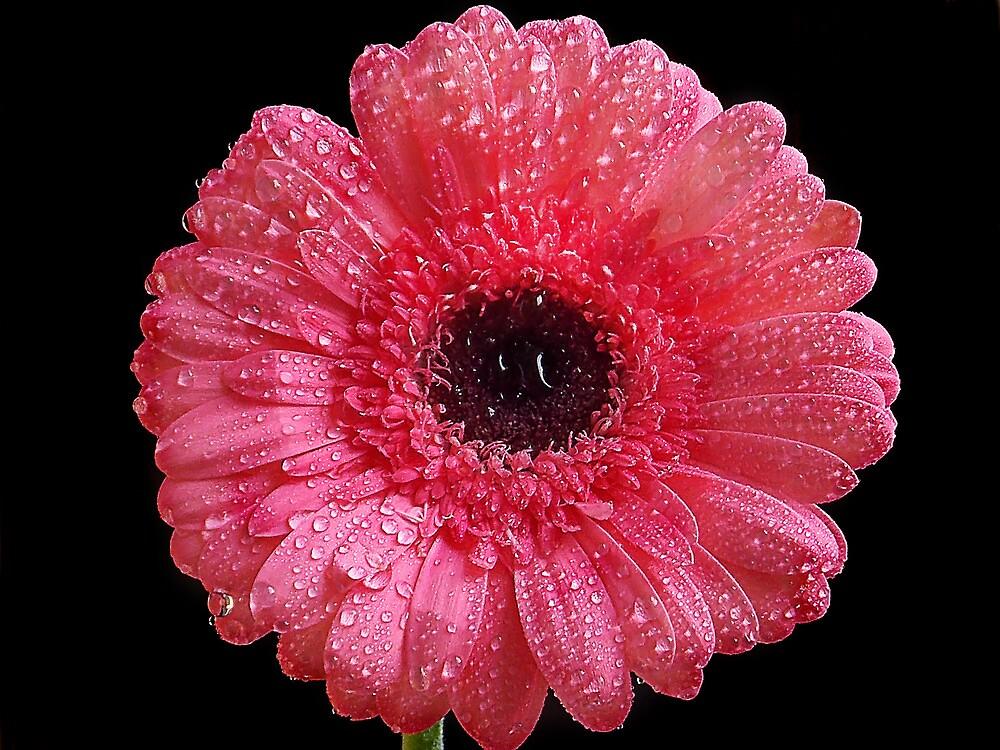 1016-pink gerber by elvira1