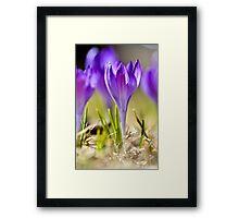 Violet crocuses in early spring Framed Print