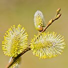 Pussy willow by M.S. Photography & Art