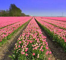 Tulip Field by ienemien