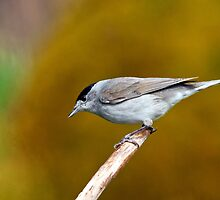 Blackcap by M.S. Photography/Art