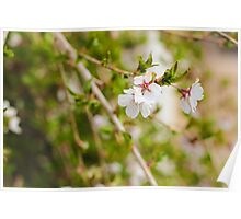 Weeping Cherry Poster