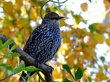 I Stand Out In Autumn Colours - Starling - NZ by AndreaEL