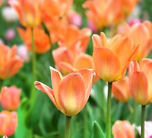 orange tulips by Paula Bielnicka