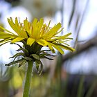Dandelion by Mikell Herrick