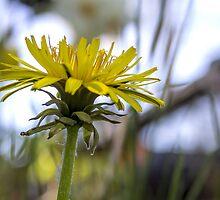 Dandelion by Mikell Herrick