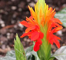 red, orange, and yellow flower by Paula Bielnicka