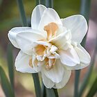Exquisite Daffodil by Mikell Herrick