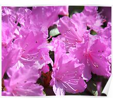 magenta flowers Poster
