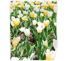 white and yellow tulips Poster