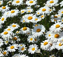 Field of Daisies by Alphafish