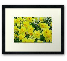 Daffodils.  Framed Print