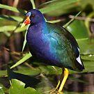 Rainbow Bird - Purple Gallinule by naturalnomad