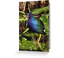 Rainbow Bird - Purple Gallinule Greeting Card