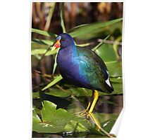 Rainbow Bird - Purple Gallinule Poster