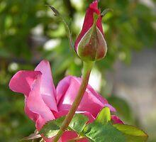 Spring Rose by Jamie Peterson