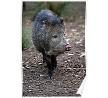 Peccary Poster