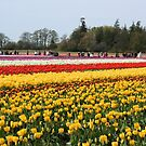 Field of colorful tulips by skreklow