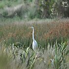 Eastern Great Egret. by TootgarookSwamp