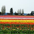 Beautiful Fields of Tulips 2 by Tori Snow