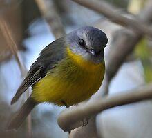 Eastern Yellow Robin. by TootgarookSwamp