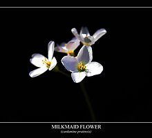 Milkmaid (cardamine pratensis) Labeled by Alan Harman