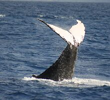 Competing Humpbacks In Hawaii by Katie Grove-Velasquez