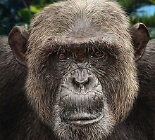 MALE CHIMPANZEE by owen bell