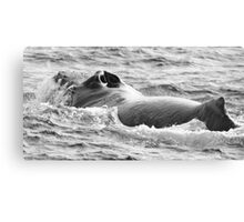 Fighting Male Humpback Canvas Print